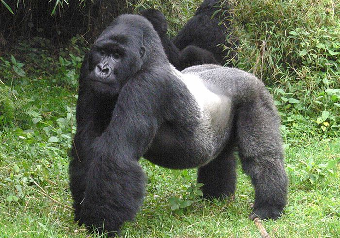 "The Eastern Gorilla is now considered ""Critically Endangered."""