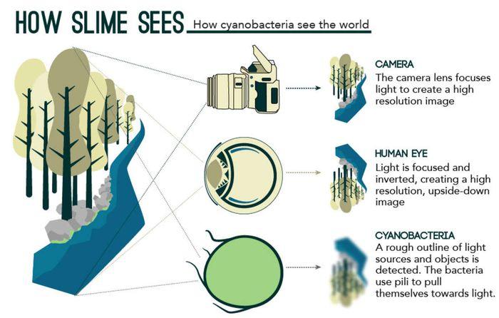 Cyanobacteria act like tiny eyes.