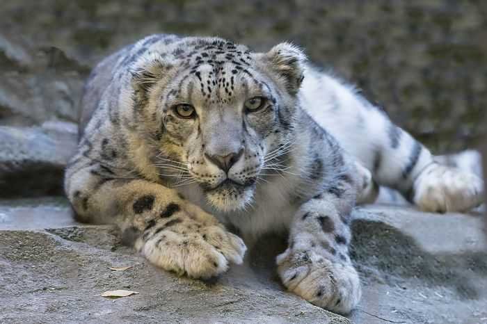 "Snow leopards are considered an endangered species by the IUCN, but they might be downgraded to ""vulnerable."""