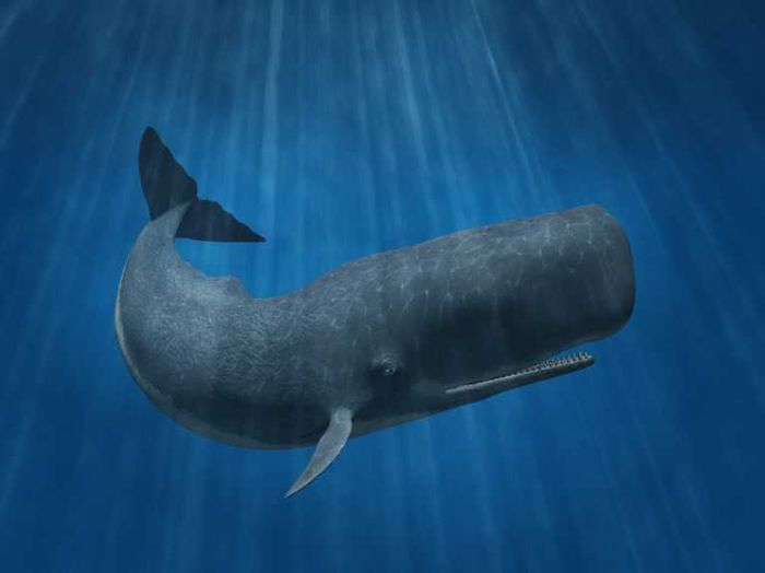 Sperm whales sometimes secrete a substance known as ambergris, which is very valuable.