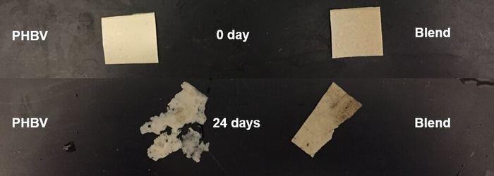 Natural rubber-bioplastic blend showed better stability against degradation (Ohio State U)