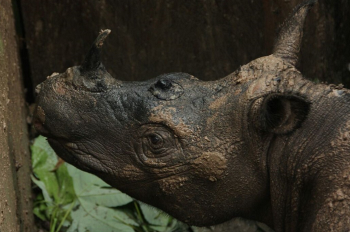 After being brought into captivity, a Sumatran Rhino has died, further pushing the species closer to extinction.