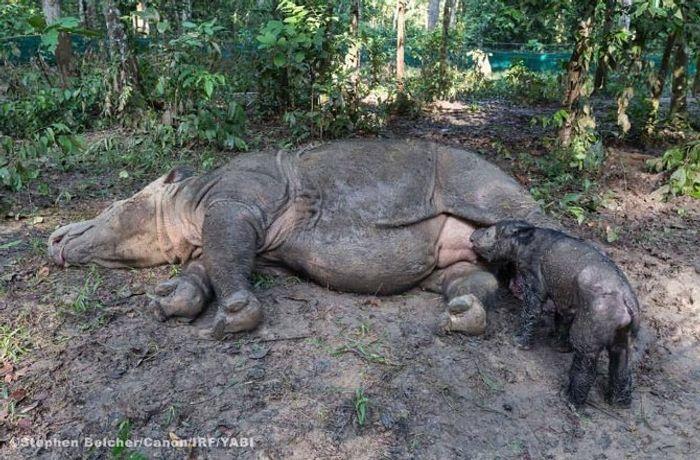 Sumatran Rhino mother lays down with her newly-born calf.