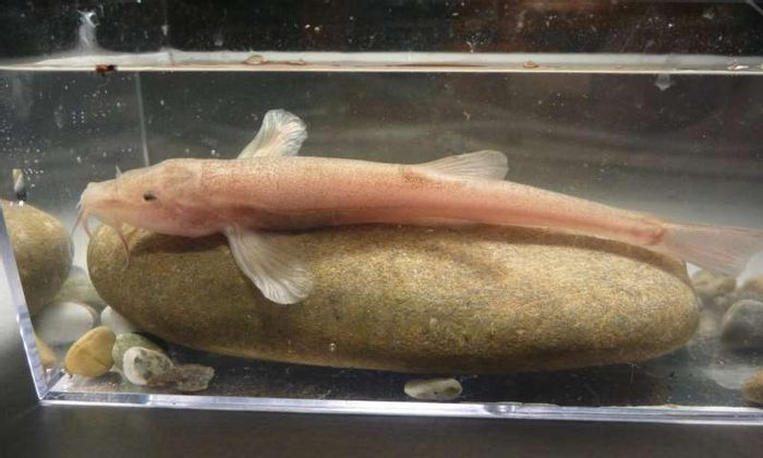 The newly-discovered European cave fish is a first for Europe.