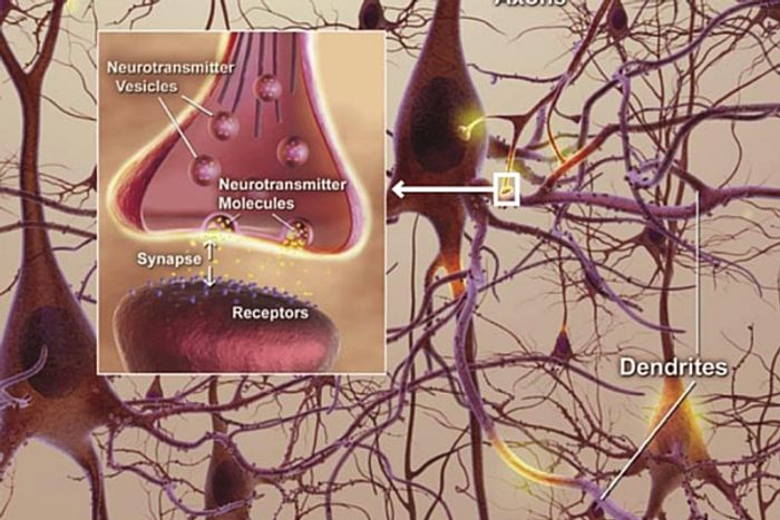 Synapses are the transmission areas of the brain